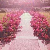 Rose bush path !