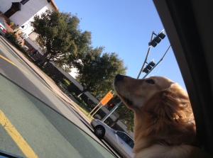BELLA LOVES TO STICK HER HEAD OUT OF THE CAR WINDOW.